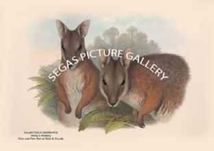 HALMATURUS DERBIANUS - Derbys Wallaby